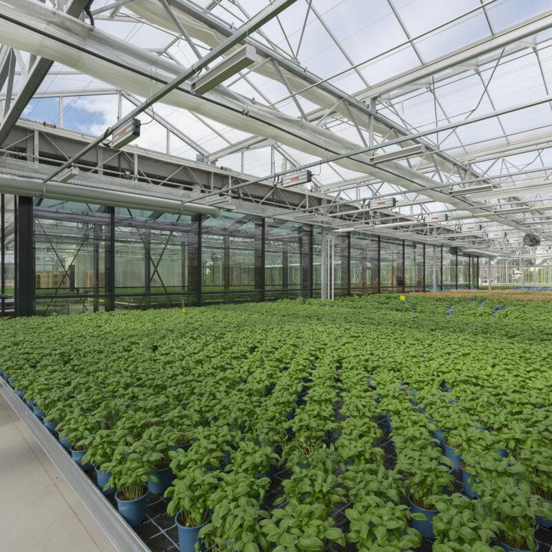 Basilikumpflanzen auf der Dachfarm des REWE Green Building Marktes