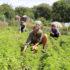 Frauen knien im Gras und pflücken Gemüse; copyright: Annika Bischof