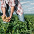 Landwirt steht in einem Feld und hält Kartoffeln in den Händen
